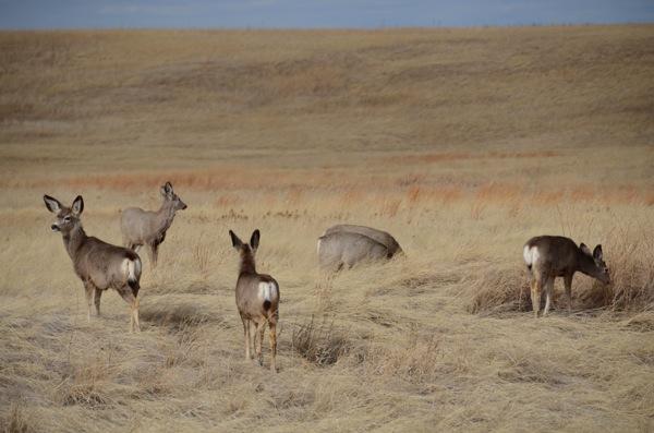 Mule Deer small