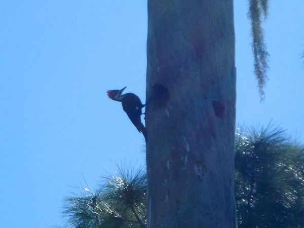 SeminolePileatedWoodpecker 006