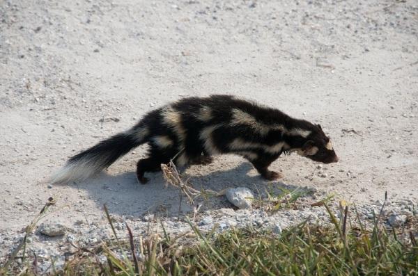 SpottedSkunk