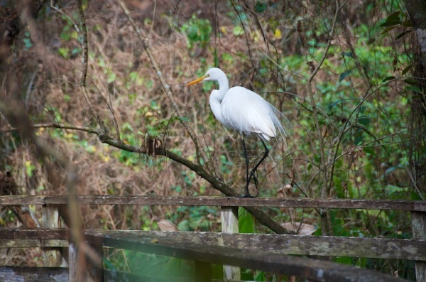GreatEgret3 013