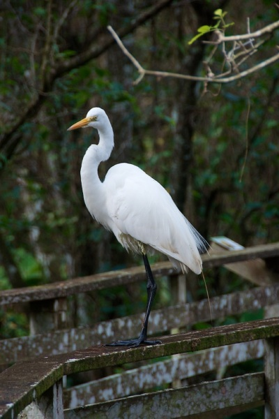 GreatEgret4 014