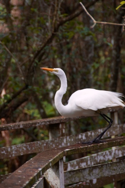 GreatEgret5 015