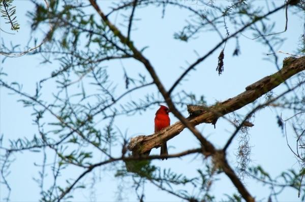 CardinalPlain