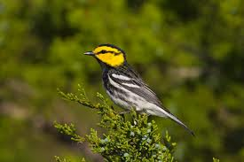 GoldenCheeked Warbler