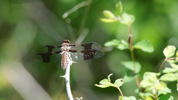 HagermanNWRDragonfly
