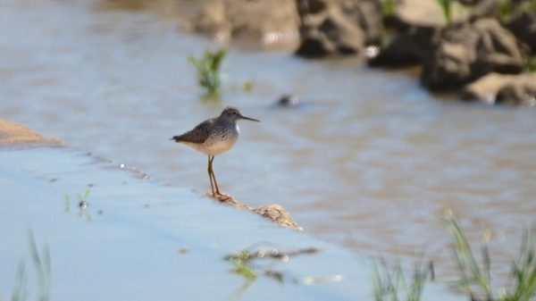 HagermanNWRLesserYellowlegs