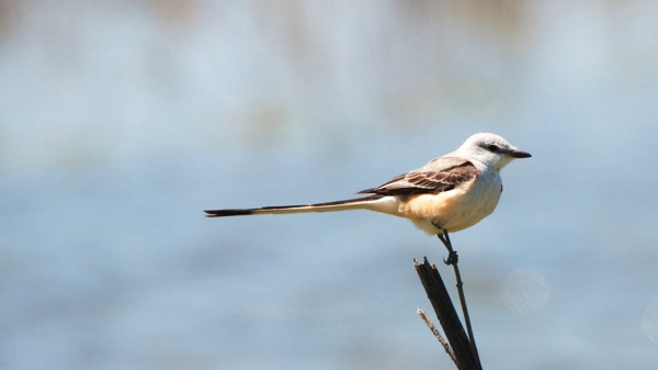 HagermanNWRScissorTailedFlycatcher