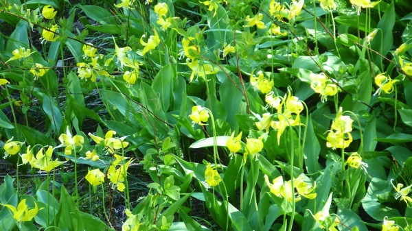 GlacierNPYellowFlowers