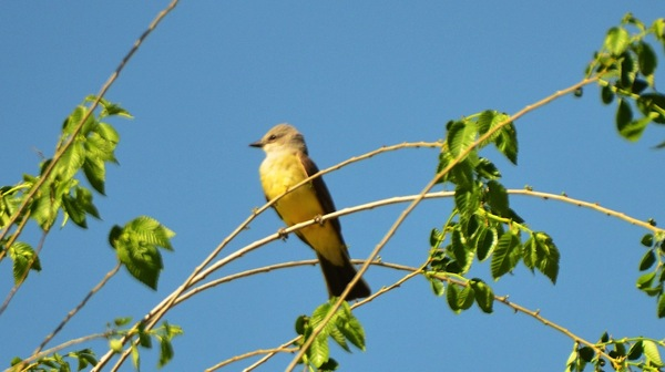 KOAHardinYellowbird1