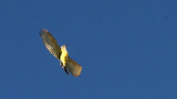 KOAHardinYellowbird2