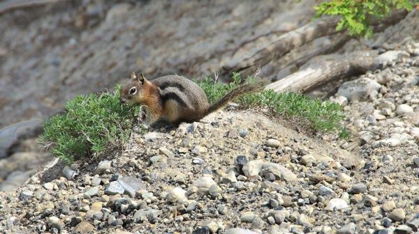BanffNPGroundSquirrel