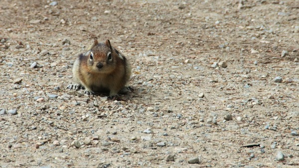 BanffNPLakeLouiseGroundSquirrel1