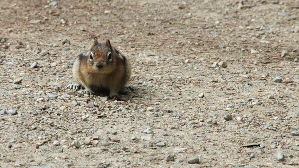 BanffNPLakeLouiseGroundSquirrel1