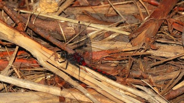 EdmontonDragonfly
