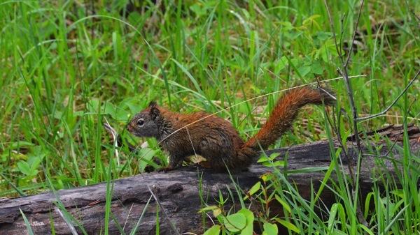 JasperNPRedSquirrel