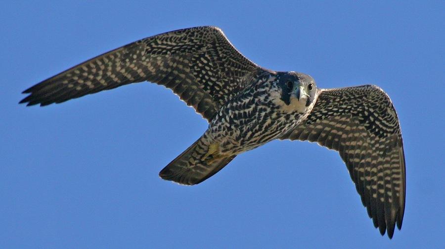 Peregrine Falcon juvenile flying  Bolsa Chica Feb