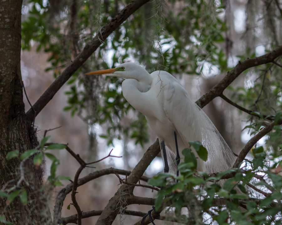 Great Egret Breeding