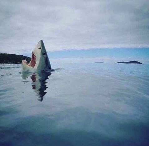 SharkSteppingOnALego