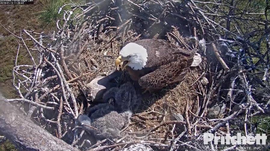 20190113 eaglets
