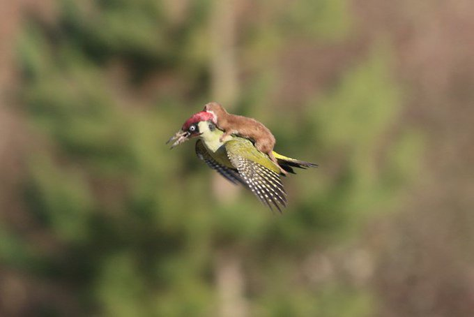 WoodpeckerRidingWeasel