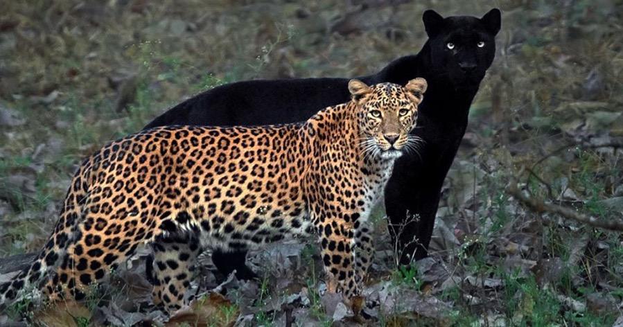 JaguarShadowPhoto