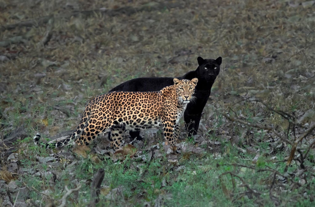 LeopardAndShadowPanther