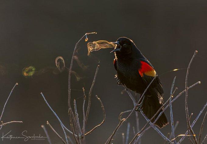 RedWingBlackbirdVortex
